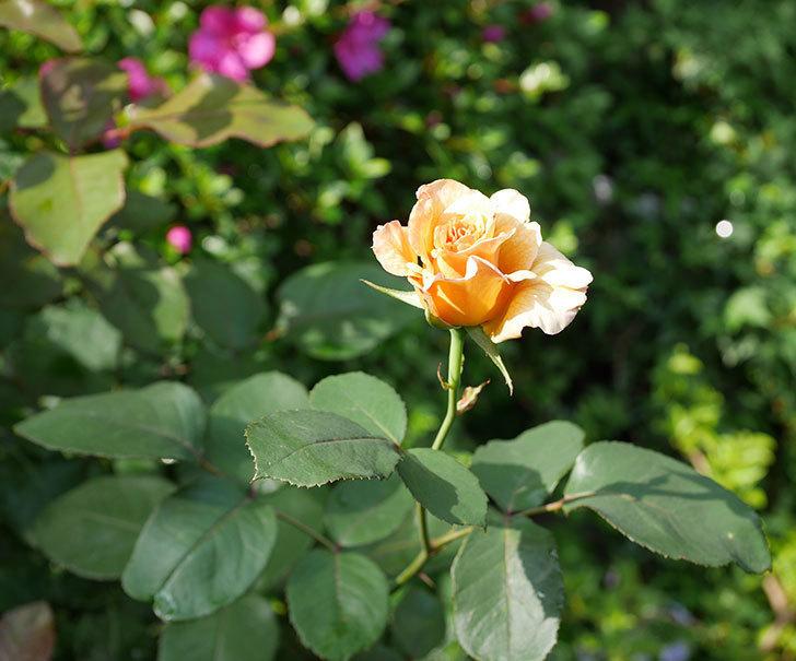 はつね(木立バラ)の2番花が咲いた。2019年-2.jpg