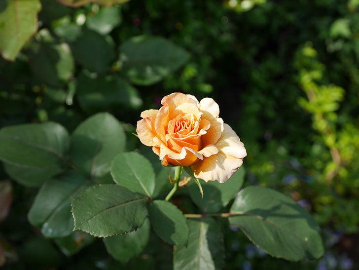 はつね(木立バラ)の2番花が咲いた。2019年-3.jpg