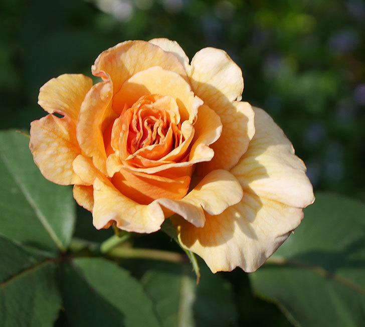 はつね(木立バラ)の2番花が咲いた。2019年-4.jpg