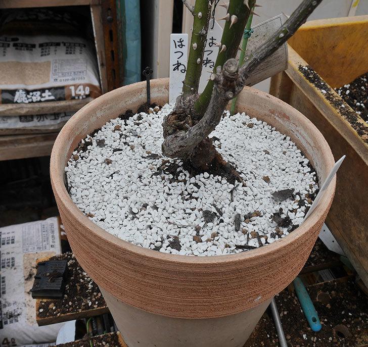 はつね(木立バラ)の植え替えをした。2019年-7.jpg