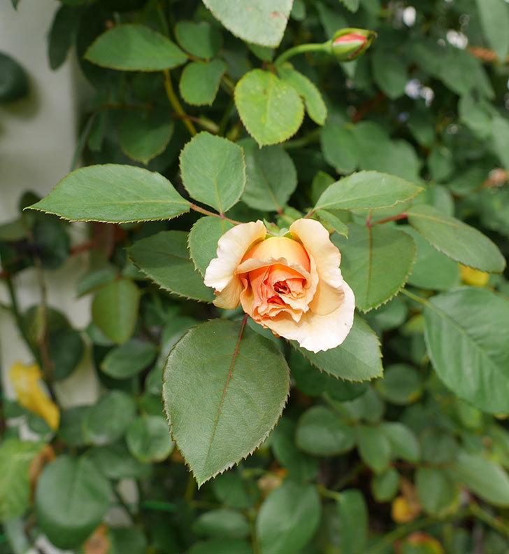 はつね(木立バラ)の秋花が咲いた。2019年-2.jpg