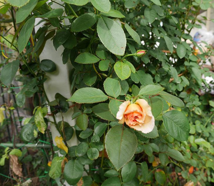 はつね(木立バラ)の秋花が咲いた。2019年-6.jpg