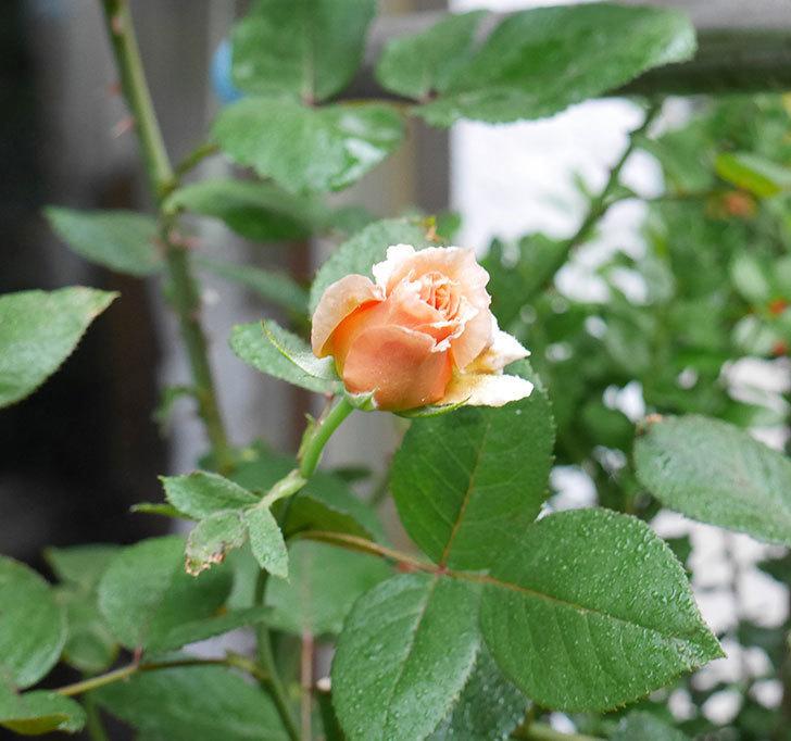 はつね(木立バラ)の秋花が少し咲いた。2017年-3.jpg