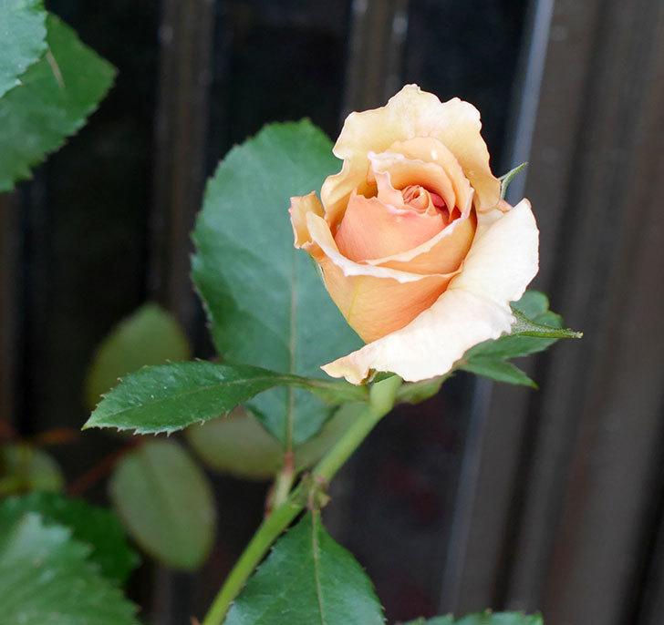 はつね(木立バラ)の花が咲いた。2018年-3.jpg