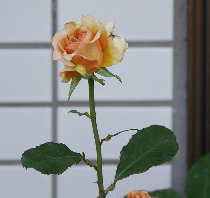 はつね(木立バラ)の花が咲いた。2018年-4.jpg