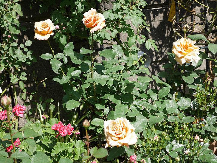 はつね(木立バラ)の花が咲いた。2019年-1.jpg