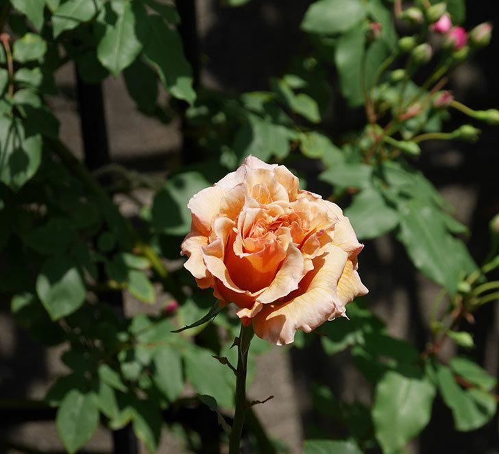 はつね(木立バラ)の花が咲いた。2019年-12.jpg