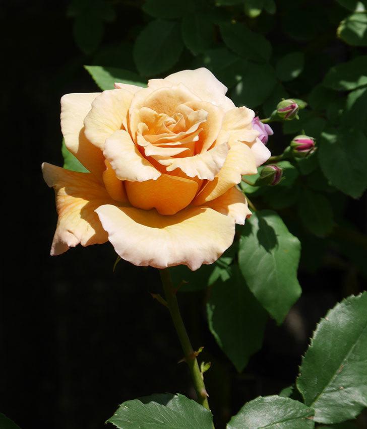 はつね(木立バラ)の花が咲いた。2019年-13.jpg
