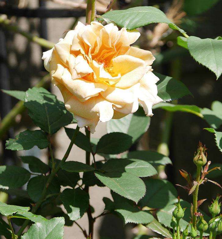 はつね(木立バラ)の花が咲いた。2019年-15.jpg