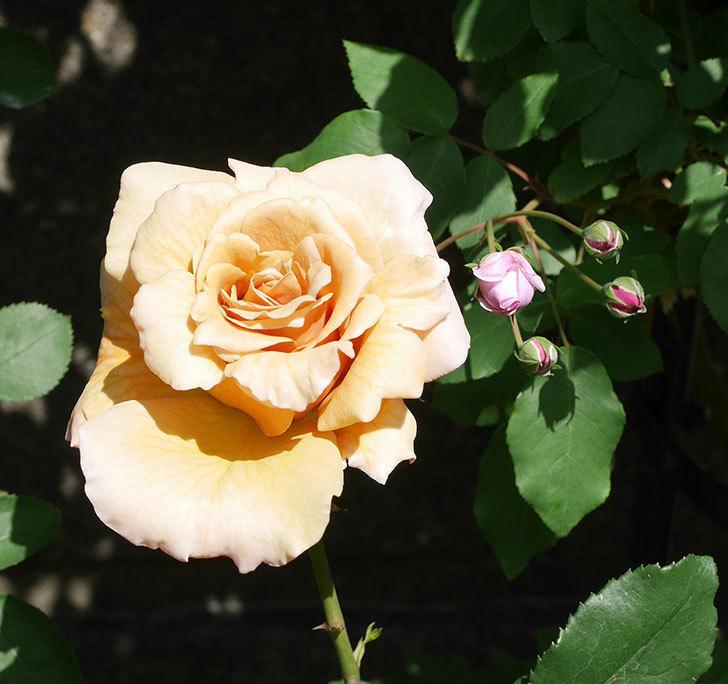 はつね(木立バラ)の花が咲いた。2019年-6.jpg