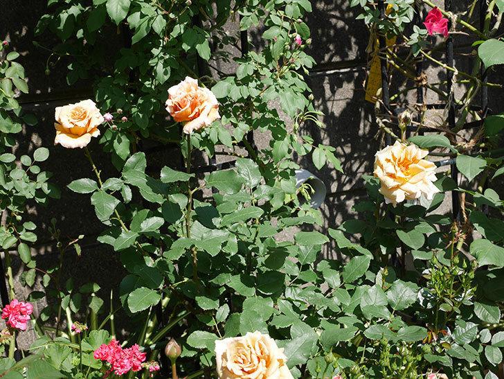 はつね(木立バラ)の花が咲いた。2019年-8.jpg