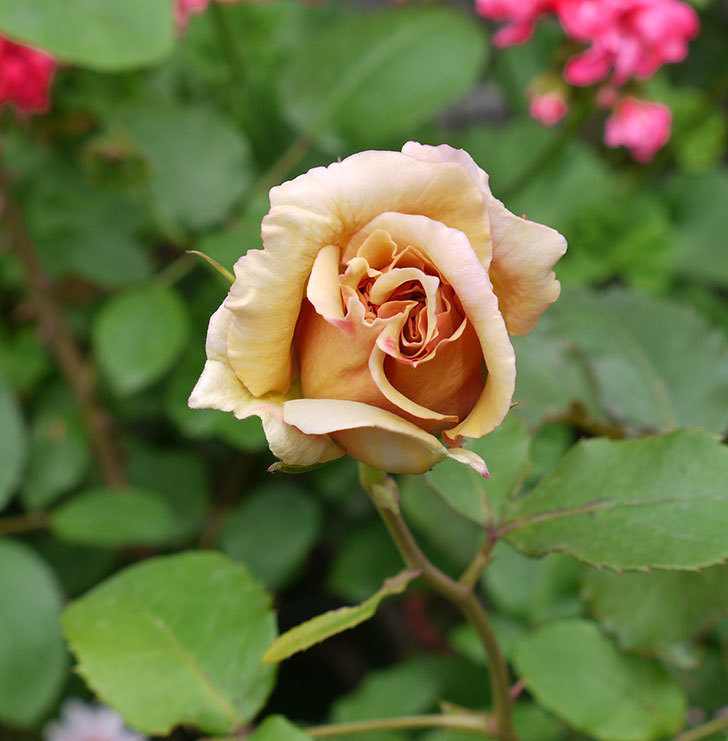 はつね(木立バラ)の花が少し咲いた。2017年-1.jpg