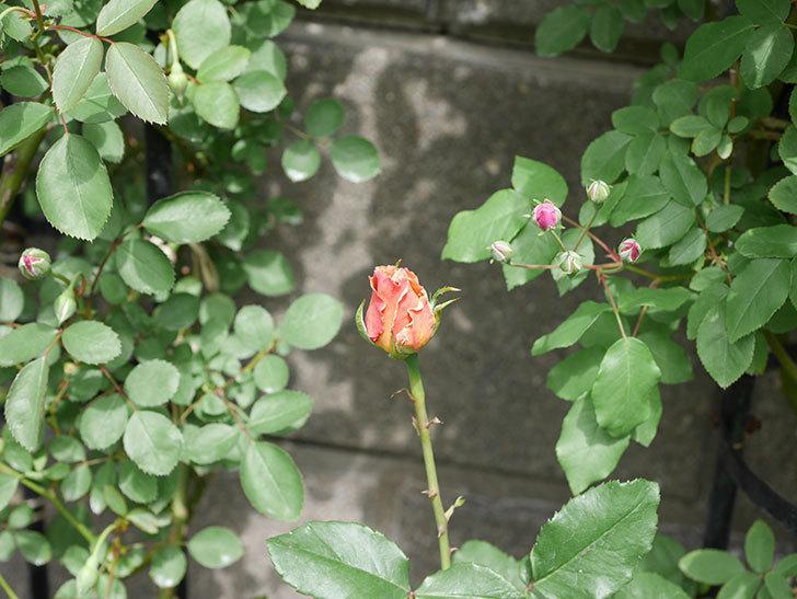 はつね(木立バラ)の花が少し咲いた。2019年-7.jpg