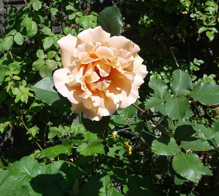 はつね(木立バラ)の花が綺麗に咲いた。2017年-12.jpg