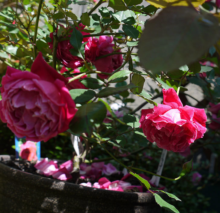 はつね(木立バラ)の花が綺麗に咲いた。2017年-20.jpg