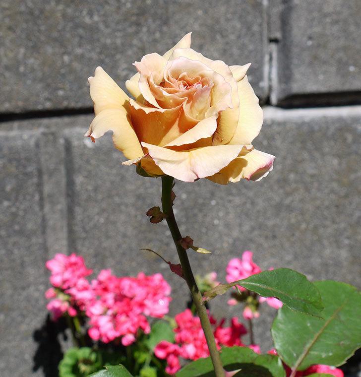 はつね(木立バラ)の花が綺麗に咲いた。2017年-4.jpg