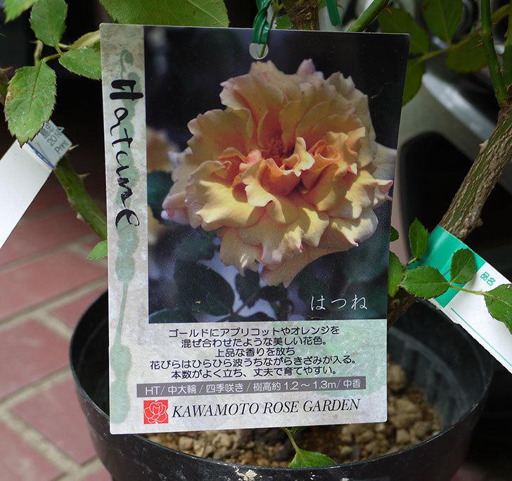 はつね(木立バラ)の花の終わった開花株買って来た。2016年-3.jpg