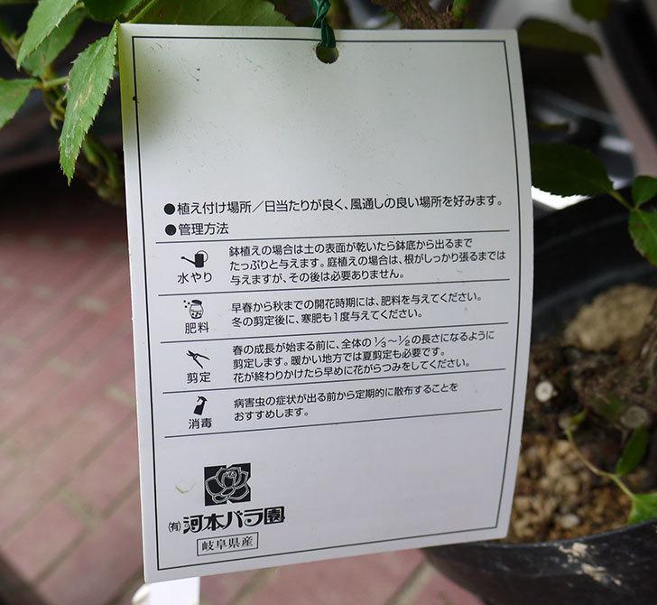 はつね(木立バラ)の花の終わった開花株買って来た。2016年-4.jpg