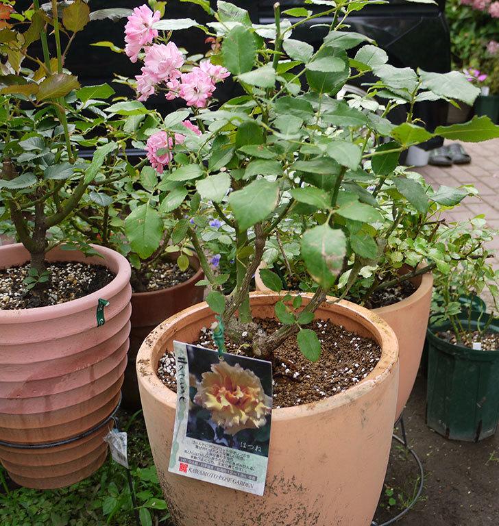はつね(木立バラ)の開花株を9号テラコッタ鉢に植えた。2016年-1.jpg