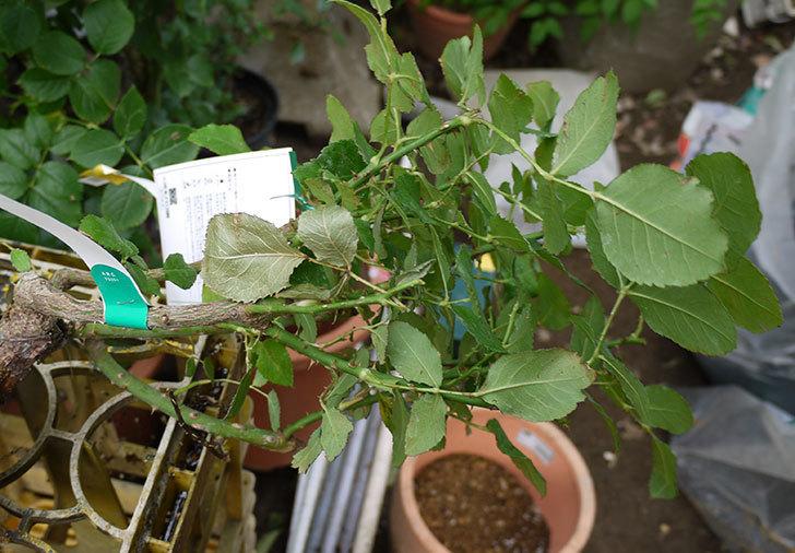はつね(木立バラ)の開花株を9号テラコッタ鉢に植えた。2016年-2.jpg