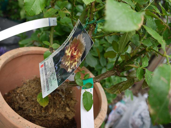 はつね(木立バラ)の開花株を9号テラコッタ鉢に植えた。2016年-6.jpg
