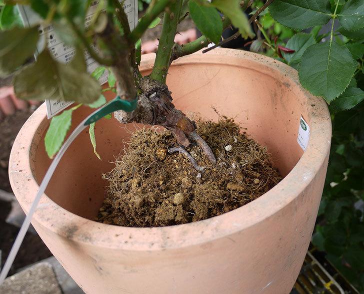はつね(木立バラ)の開花株を9号テラコッタ鉢に植えた。2016年-7.jpg