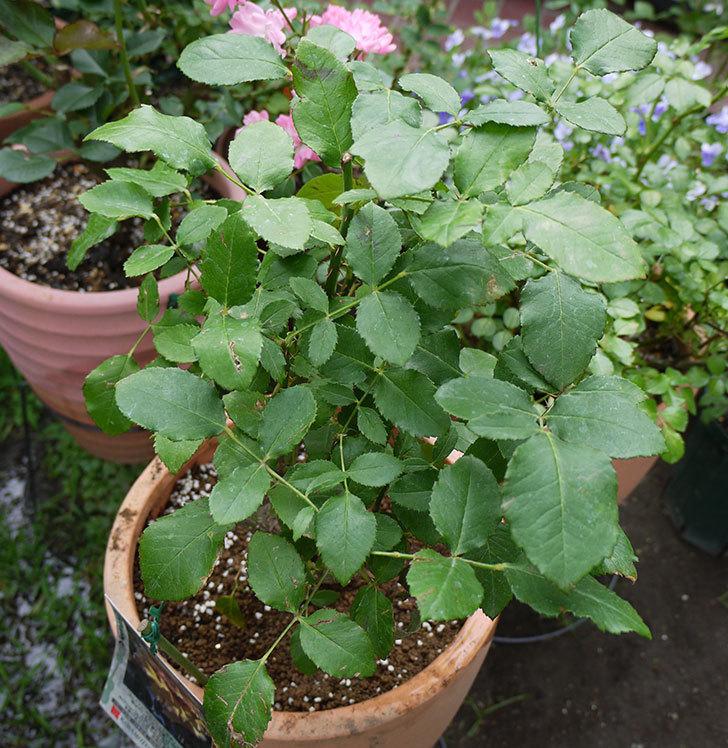 はつね(木立バラ)の開花株を9号テラコッタ鉢に植えた。2016年-8.jpg