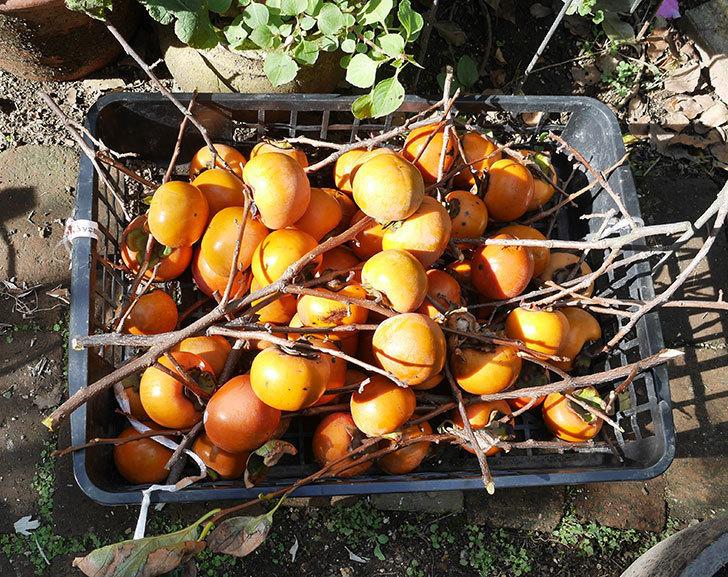 また柿の収穫をした。2018年-1.jpg