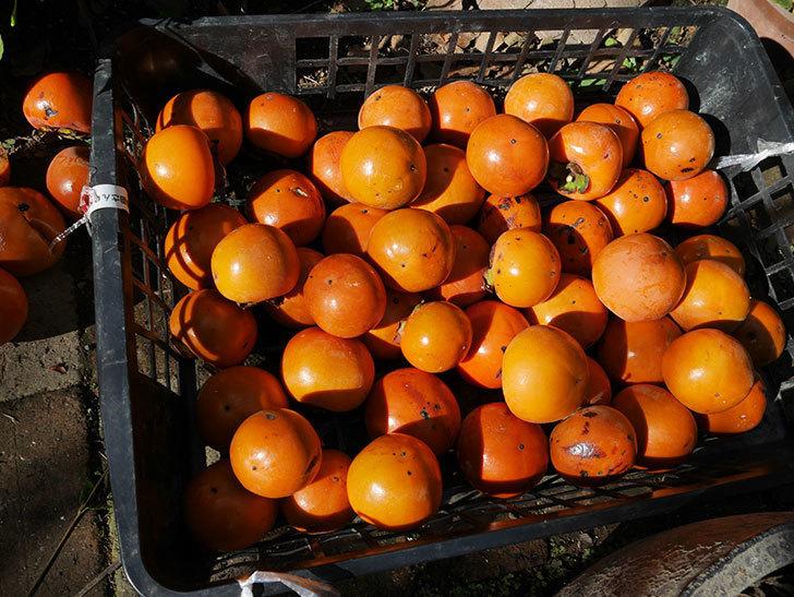 また柿の収穫をした。2018年-2.jpg