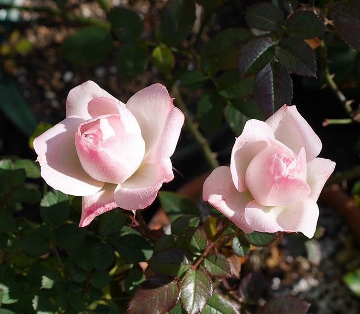 まだチュチュオプティマ(ミニバラ)が綺麗に咲いている。2018年-1.jpg