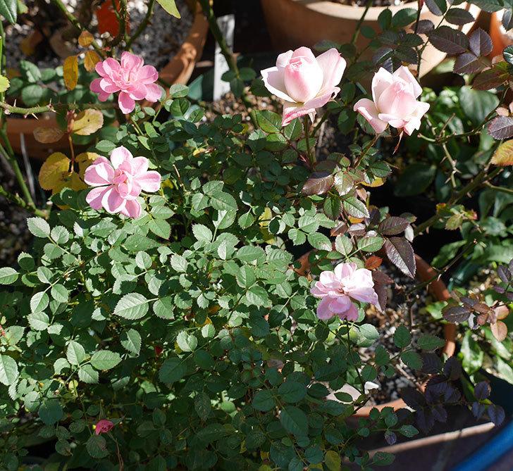 まだチュチュオプティマ(ミニバラ)が綺麗に咲いている。2018年-4.jpg