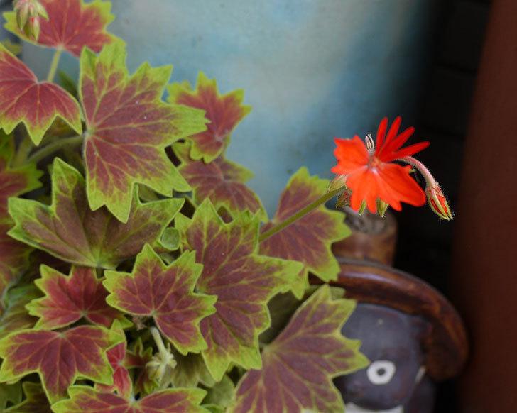 もみじ葉ゼラニウムの花が咲いた。2016年-1.jpg