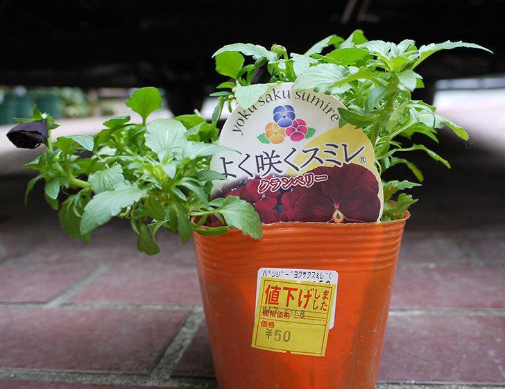 よく咲くスミレ-クランベリーがホームズで50円だったので買って来た。2016年-2.jpg