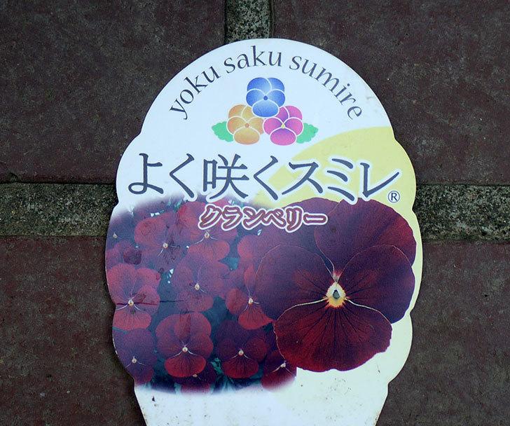 よく咲くスミレ-クランベリーがホームズで50円だったので買って来た。2016年-3.jpg