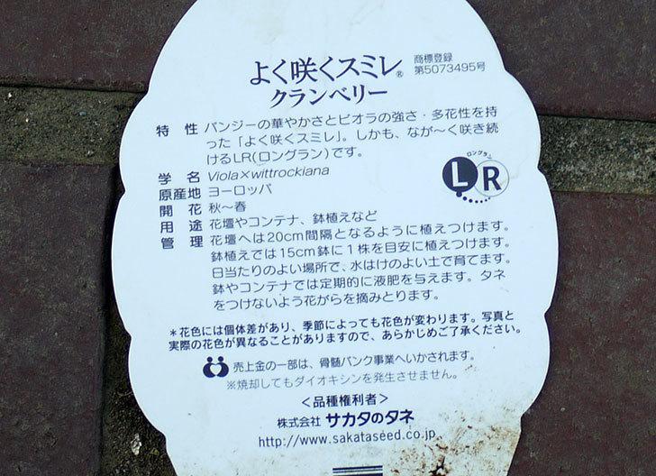 よく咲くスミレ-クランベリーがホームズで50円だったので買って来た。2016年-4.jpg