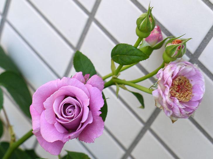 アイスバーグ(バラ)がたくさん咲いた。2015年-6.jpg