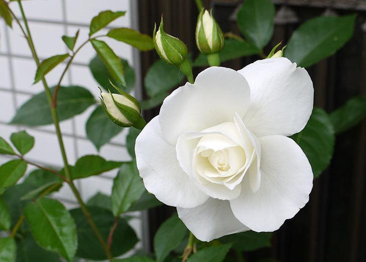 アイスバーグ(バラ)が咲いた。2015年-1.jpg