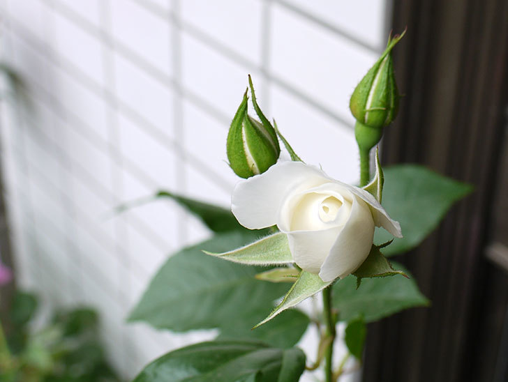 アイスバーグ(バラ)が咲いた。2015年-2.jpg