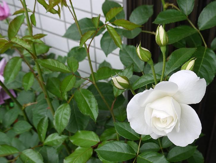 アイスバーグ(バラ)が咲いた。2015年-3.jpg