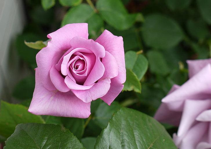 アイスバーグ(バラ)が咲いた。2015年-4.jpg