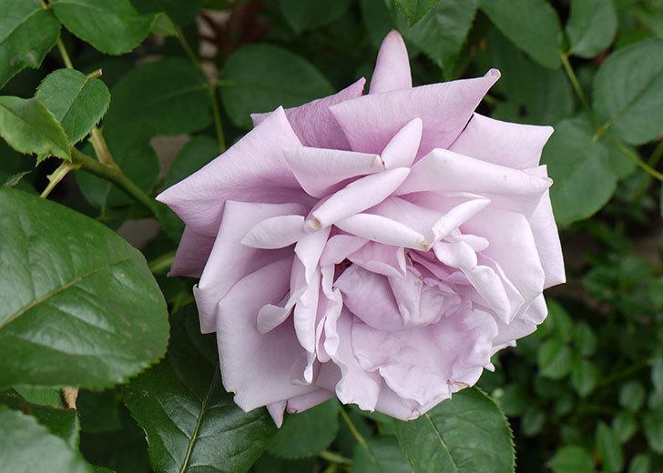 アイスバーグ(バラ)が咲いた。2015年-5.jpg
