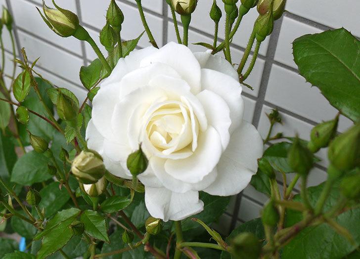 アイスバーグ(バラ)が咲いた。2016年-1.jpg