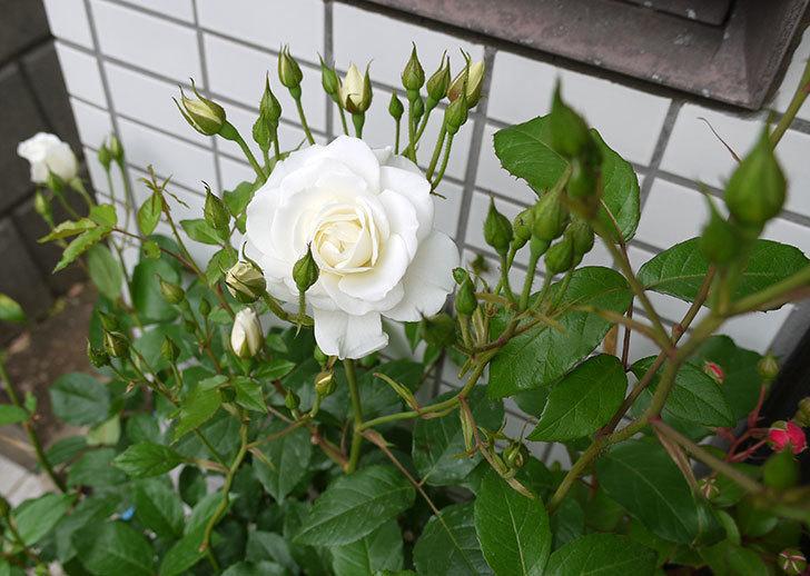 アイスバーグ(バラ)が咲いた。2016年-2.jpg