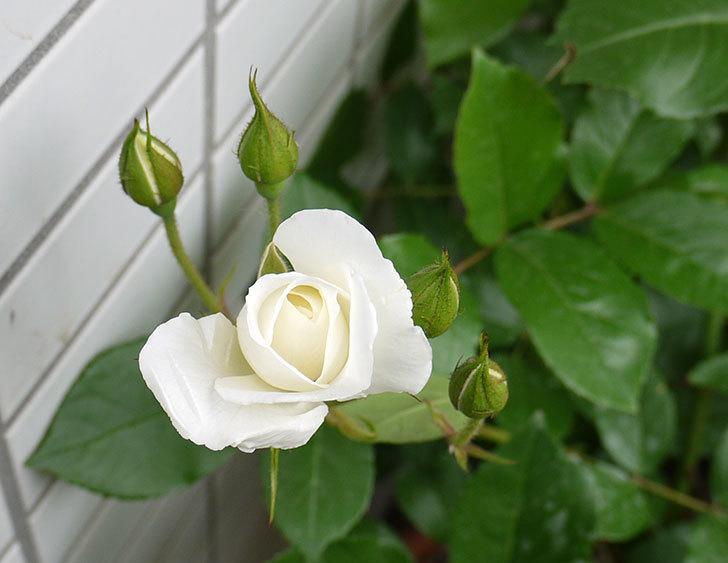 アイスバーグ(バラ)が咲いた。2016年-3.jpg