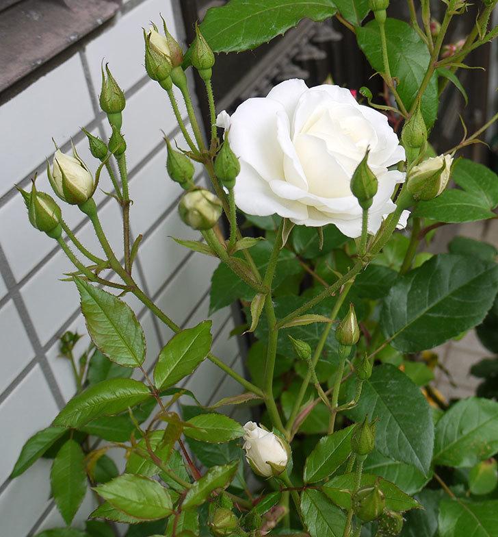 アイスバーグ(バラ)が咲いた。2016年-4.jpg