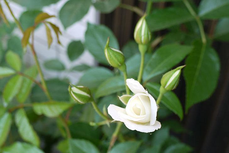 アイスバーグ(バラ)の蕾が膨らんできた。2015年-1.jpg