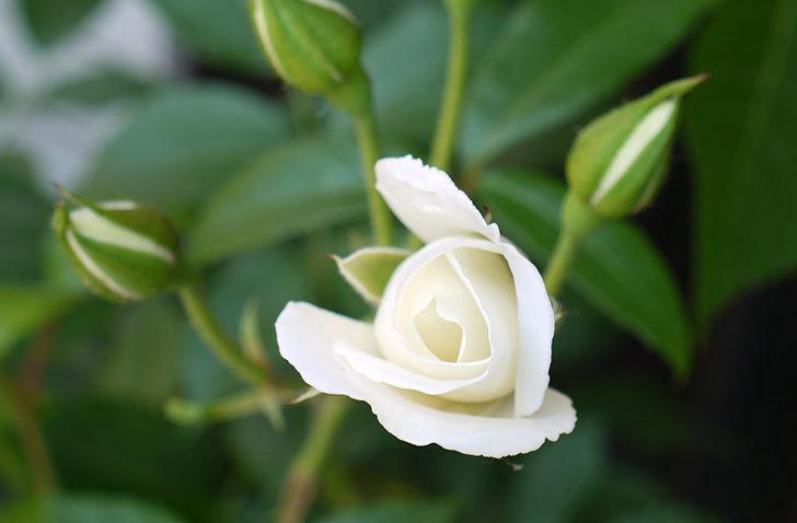 アイスバーグ(バラ)の蕾が膨らんできた。2015年-2.jpg
