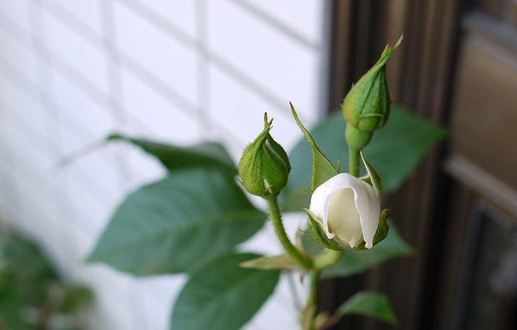 アイスバーグ(バラ)の蕾が膨らんできた。2015年-3.jpg