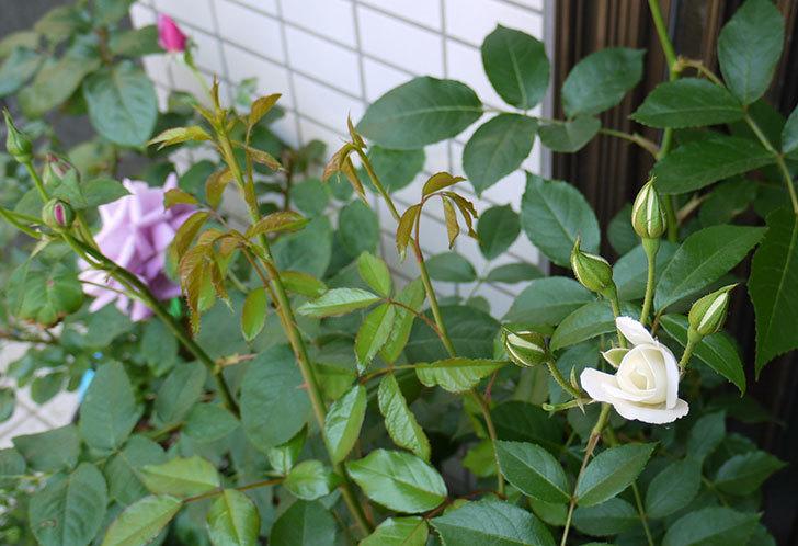 アイスバーグ(バラ)の蕾が膨らんできた。2015年-4.jpg