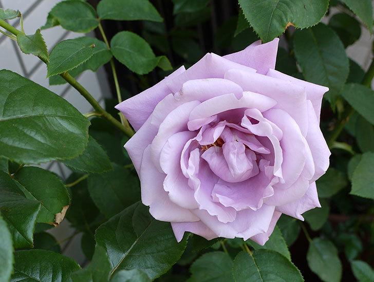 アイスバーグ(バラ)の蕾が膨らんできた。2015年-5.jpg